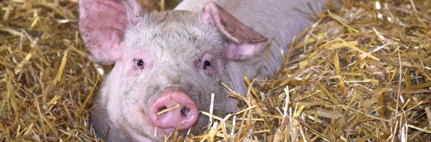 Swine Feed for Pigs