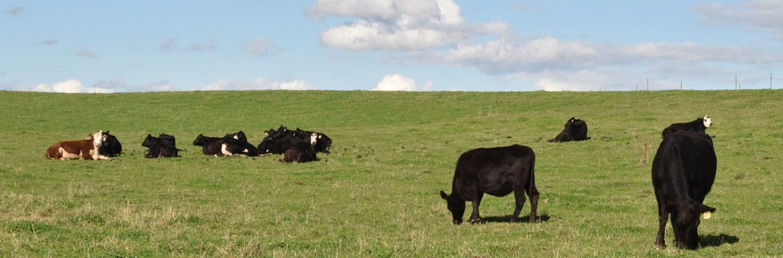 beef grazing