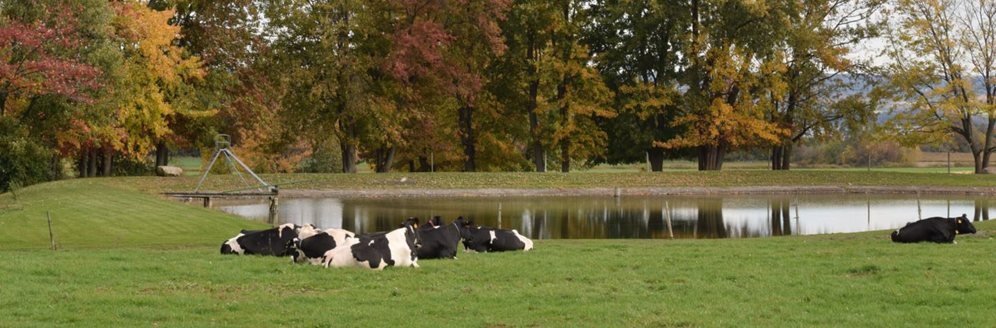 cows by pond1